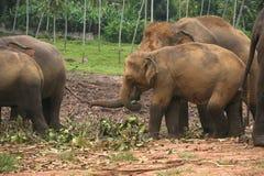 Elephants heard Stock Photos