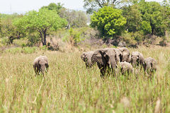 Elephants herd Royalty Free Stock Image