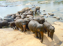 Elephants herd Stock Photography