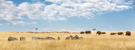 Elephants and zebra panorama. Elephants herd and migrating zebra  in the Masai Mara. Panorama in popular social media banner dimensions Royalty Free Stock Images