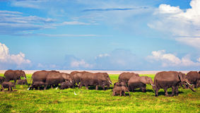 Elephants herd on savanna. Safari in Amboseli, Kenya, Africa Royalty Free Stock Image