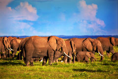 Elephants herd on savanna. Safari in Amboseli, Kenya, Africa Royalty Free Stock Photos