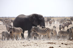 Elephants and herds of zebra and antelope wait through the midday heat at the waterhole Etosha, Namibia Royalty Free Stock Photos
