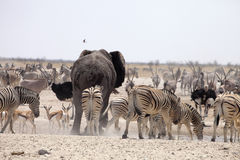 Elephants and herds of zebra and antelope wait through the midday heat at the waterhole Etosha, Namibia Royalty Free Stock Photo