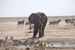 Elephants and herds of zebra and antelope wait through the midday heat at the waterhole Etosha, Namibia Royalty Free Stock Image