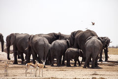 Elephants and herds of zebra and antelope wait through the midday heat at the waterhole Etosha, Namibia Royalty Free Stock Images