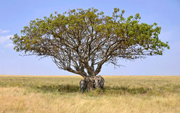 Elephants hiding in a shade of Acacia Tree Royalty Free Stock Images