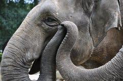 Elephants holding trunks stock photography