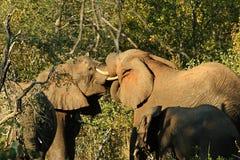 Elephants' hug Stock Images