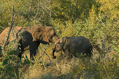 Elephants' hug Royalty Free Stock Photos