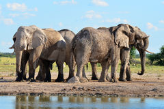 Elephants In Nxai Pan,Botswana Royalty Free Stock Image