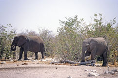Elephants In The Bush Royalty Free Stock Images
