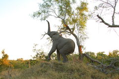 Free Elephants In The Sabi Sands Private Game Reserve Royalty Free Stock Image - 9479346