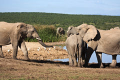 Elephants Interacting Stock Images