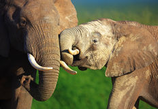 Elephants interacting Royalty Free Stock Photography