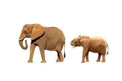 Elephants isolated royalty free stock photography