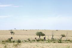 Elephants in its habitat, savannah grassland of Masai Mara Royalty Free Stock Photos