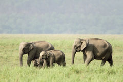 Elephants in Jim Corbett grassland Royalty Free Stock Image