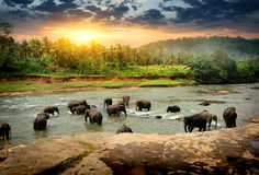 Elephants in jungle. Herd of elephants bathing in the jungle river of Sri Lanka Royalty Free Stock Images