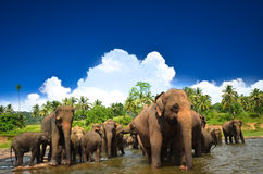 Elephants in the jungle. Elephants playing in the river Stock Photography