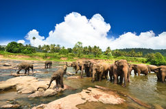 Elephants in the jungle. Elephants playing in the river Royalty Free Stock Images