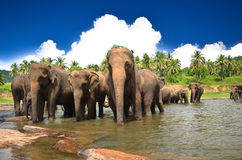 Elephants in the jungle. Elephants playing in the river Stock Image