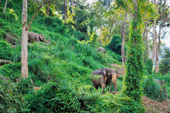 Elephants in the jungle Stock Images