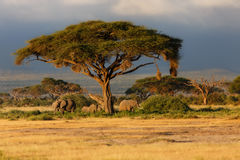 Elephants just before the rain Stock Photos