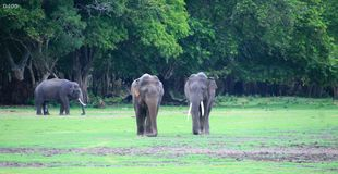 Elephants at kalawewa royalty free stock photography