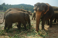 Elephants in Kandy, Sri Lanka Stock Photography