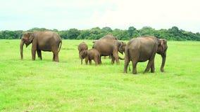 Elephants in Kaudulla national park, Sri Lanka stock footage