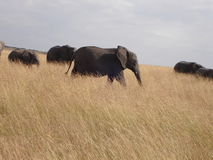 Elephants in Kenya Stock Photography