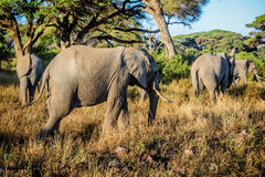 Elephants in Kenya , Africa Royalty Free Stock Images