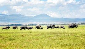 Elephants in Kenya , Africa Royalty Free Stock Photography
