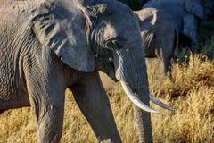 Elephants in Kenya , Africa Stock Images