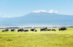 Elephants in Kenya with Kilimanjaro mount in the background, Af Stock Image
