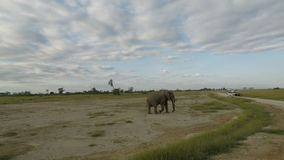 Elephants in kenya. Red elephants of kenya in a national park stock video footage