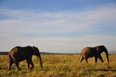 Elephants in Kenya. Two elephants in Kenyas wildlife stock photography