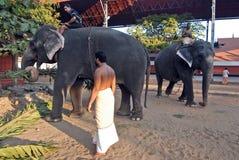 Elephants in Kerala culture. December 08,2012 Kochin,Trissur,Kerala,India,Asia-The famous Guruvayur temple has more than 60 captive elephants Royalty Free Stock Images