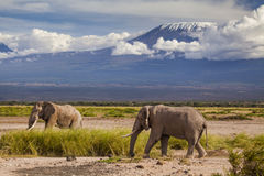 Elephants on Kilimajaro mount background. Stock Image