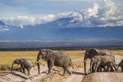 Elephants on Kilimajaro mount background. Stock Photos