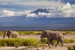 Elephants on Kilimajaro mount background. Stock Photo