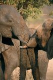 Elephants Kissing Royalty Free Stock Photos