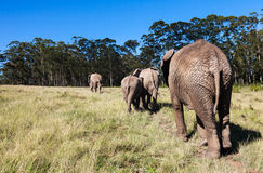 Elephants Royalty Free Stock Photography