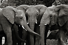 Elephants, Kruger National Park Stock Image