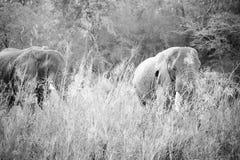 Elephants of Kruger Park Stock Photo