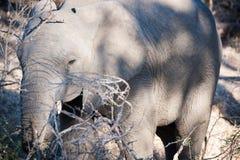 Elephants of Kruger Park Stock Photos