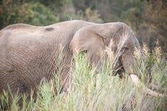 Elephants of Kruger Park Royalty Free Stock Image