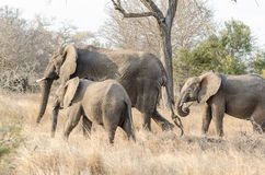Elephants in Kruger Park South Africa Stock Images