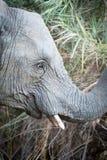 Elephants of Kruger Park Royalty Free Stock Images
